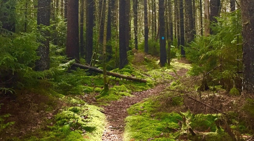 trail between pine trees, with a blue trail marker showing the way