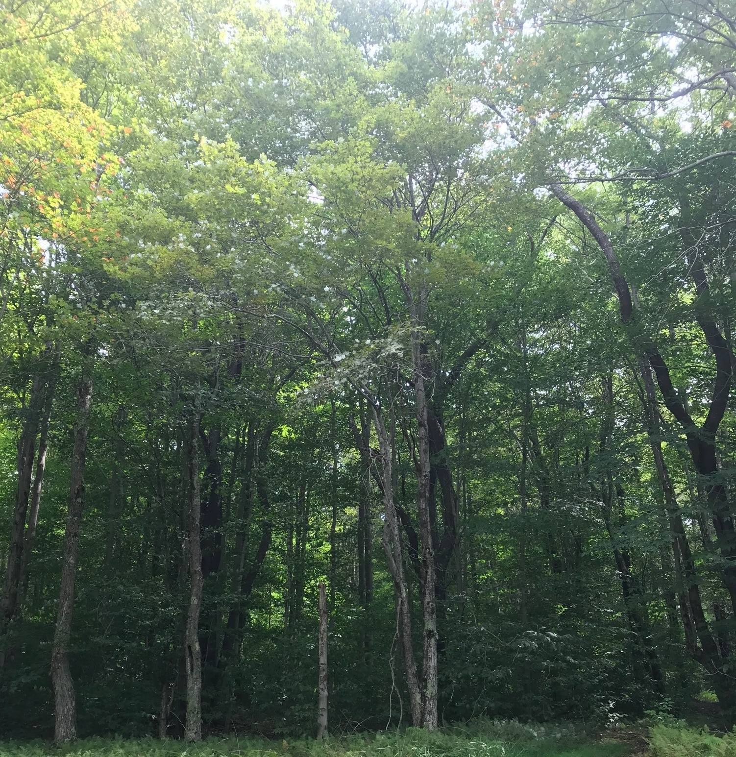 trees in the part of Canaan Valley National Wildlife Refuge proposed for logging
