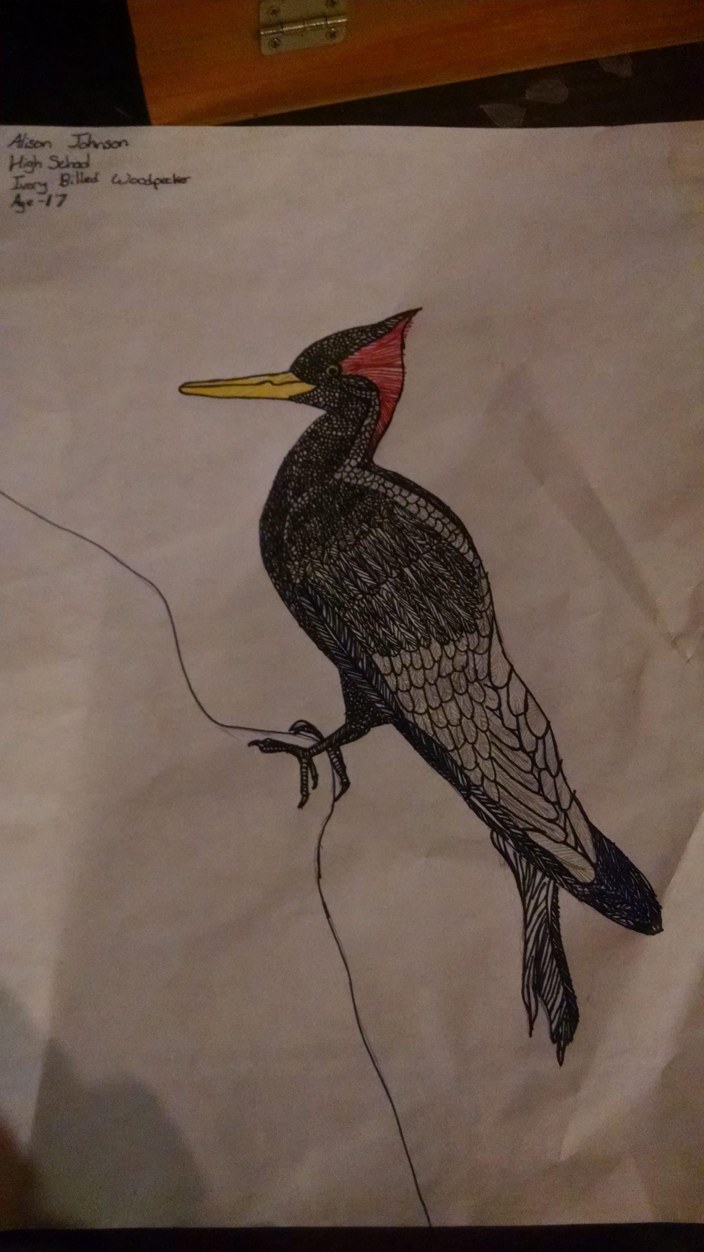 ivory billed woodpecker 17