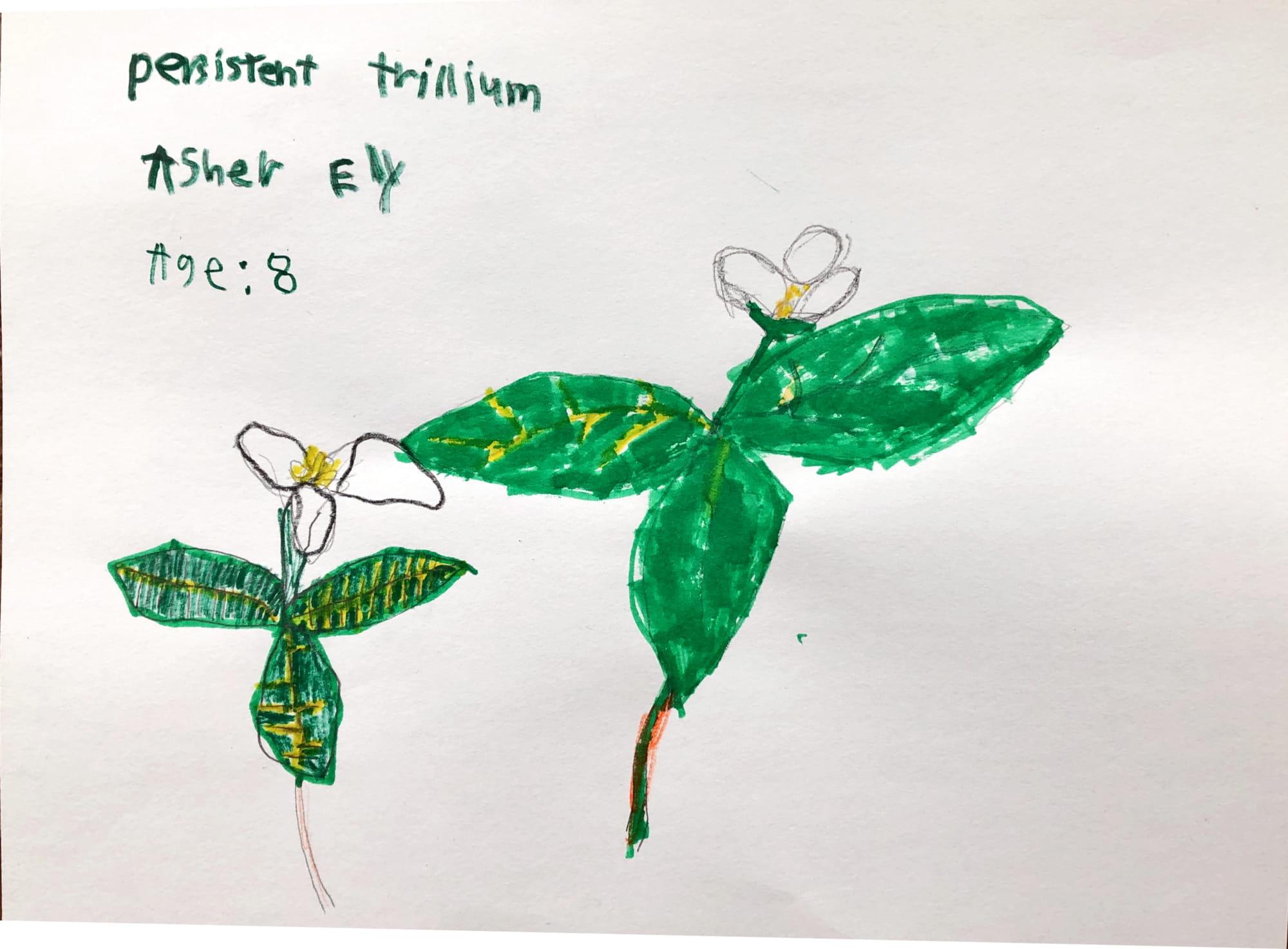 Asher Ely – Persistent Trillium 8-1