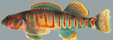 Candy Darter, a WV endangered species