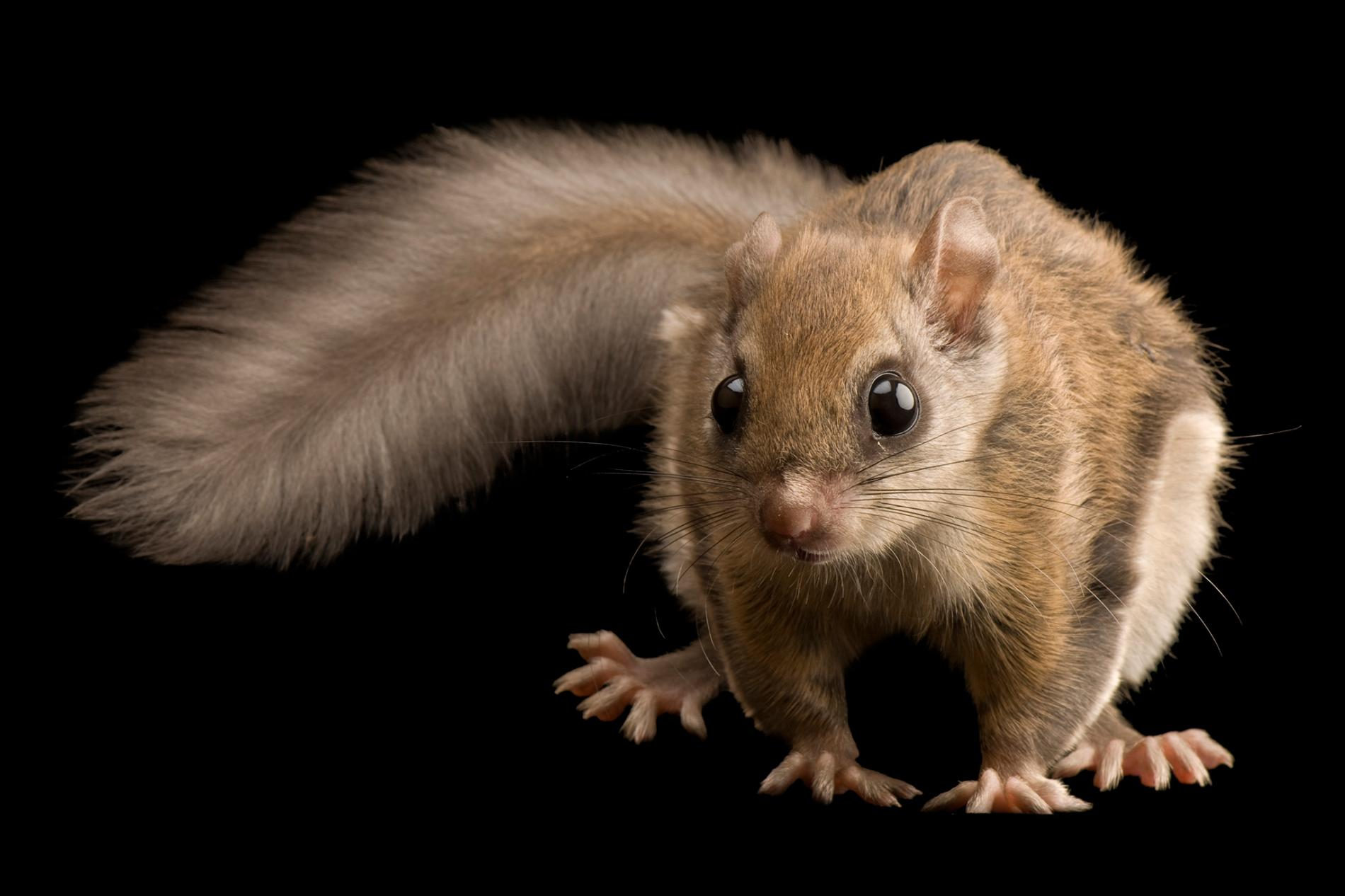 01-flying-squirrels-pink-nationalgeographic_1173072.ngsversion.1548934200593.adapt.1900.1