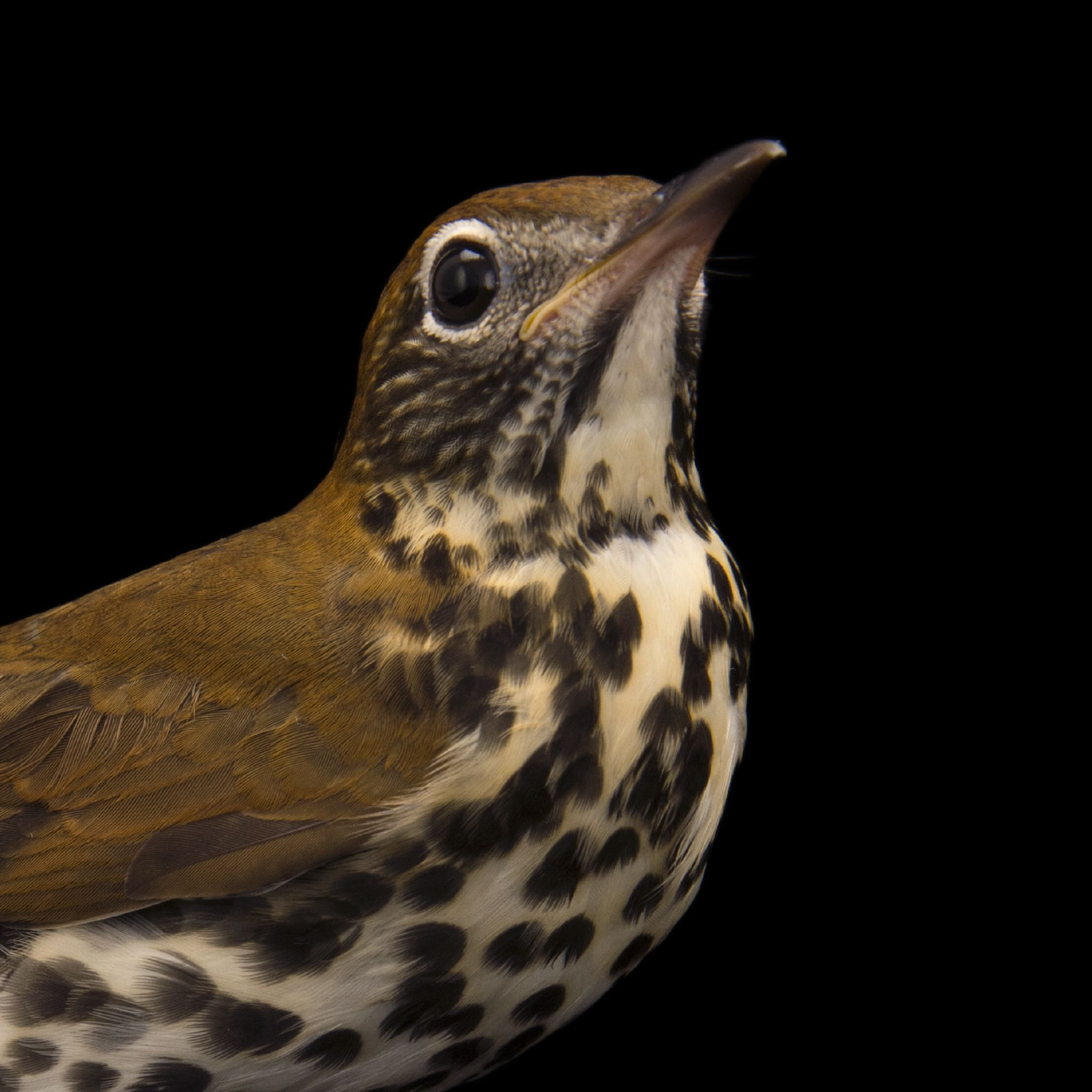 A wood thrush, Hylocichla mustelina, at St. Francis Wildlife Association.