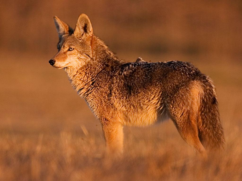 Coyote-1024×768-RBannow