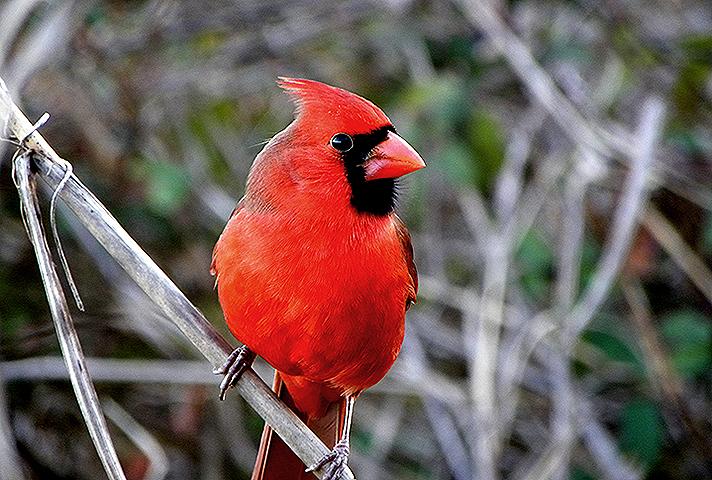 Gallery Cardinal
