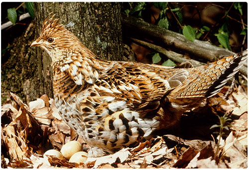 VTFW-Ruffed-Grouse-500-x-340