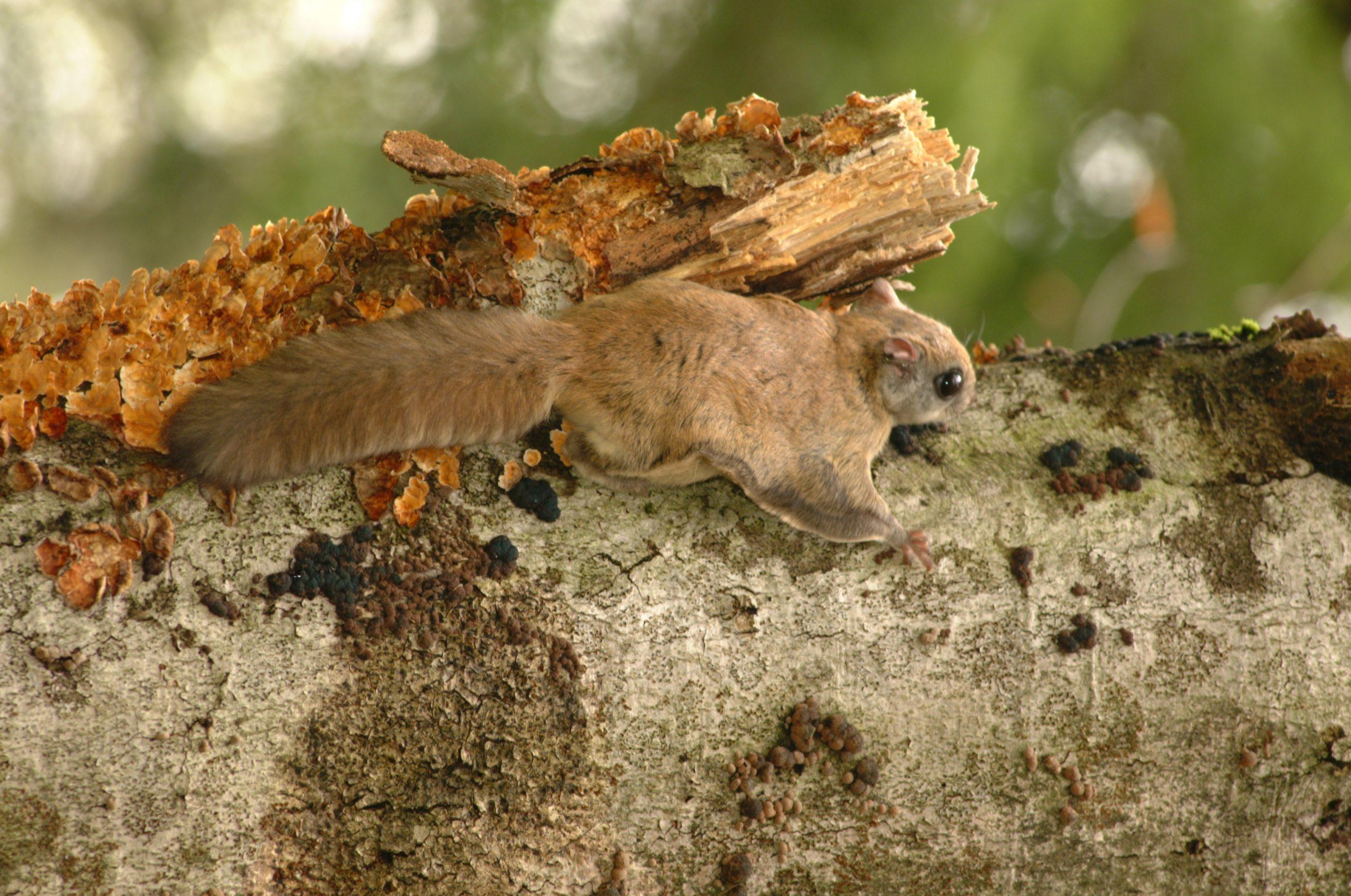 squirrel on tree with lichen 2