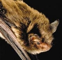 close up of an Indiana Bat