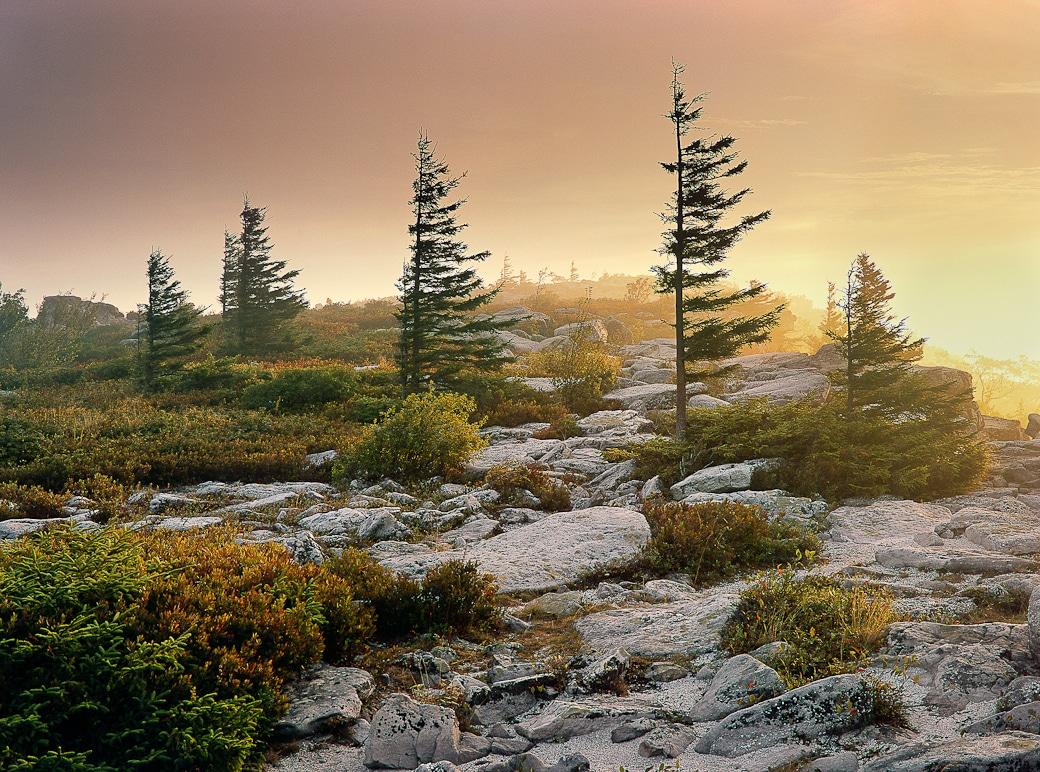 small spruce trees at bear rocks preserve