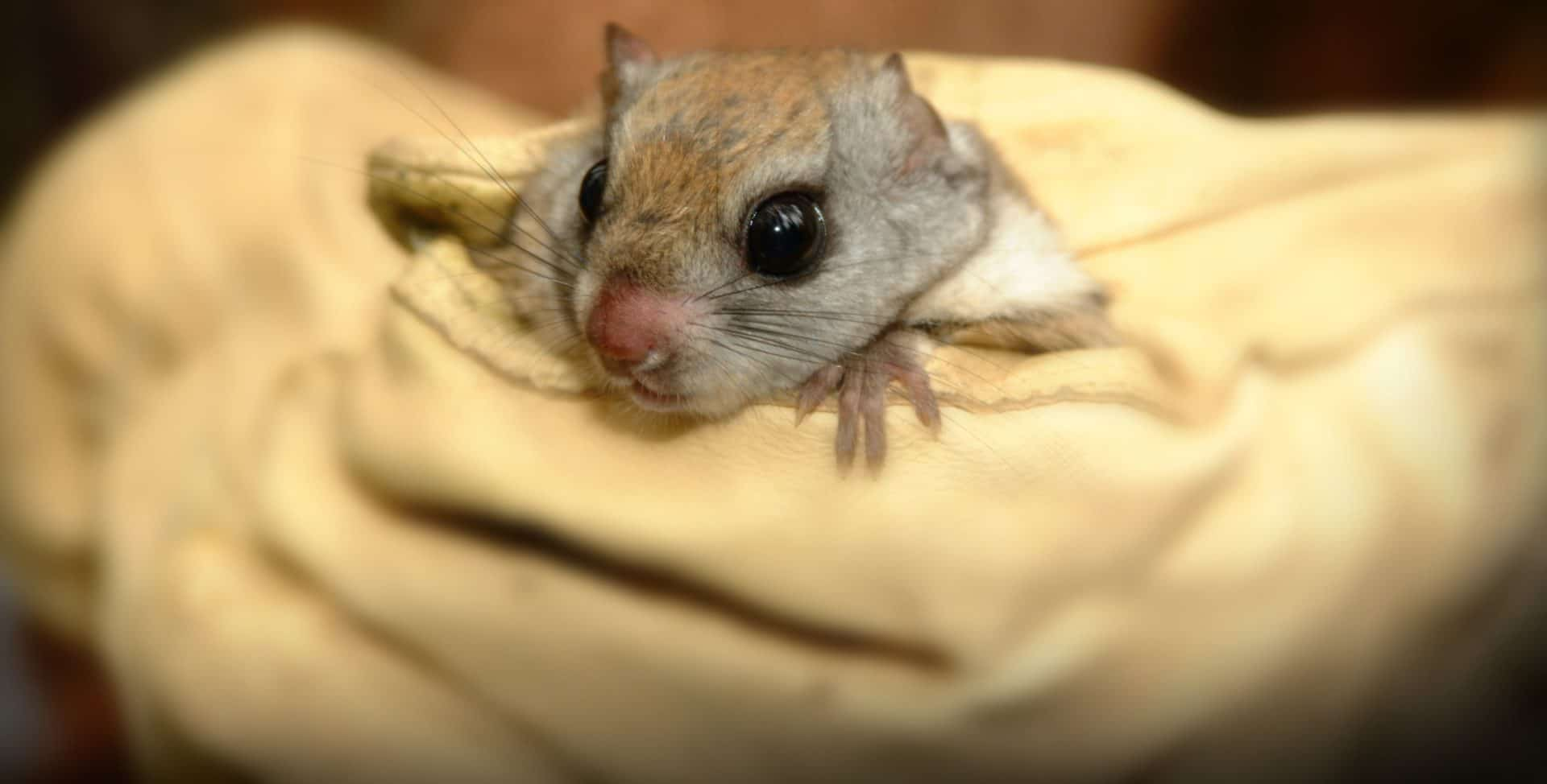 a flying squirrel being held in a glove