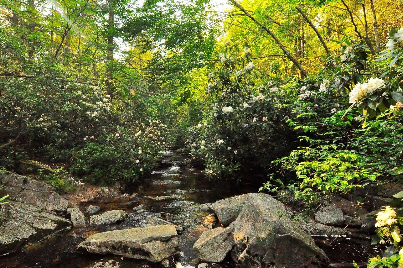 view down a stream lined with flowering rhododendron